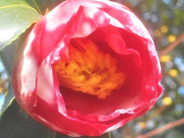 赤い斑入りの早春椿(5分咲き)@背景の黄色は山茱萸(サンシュユ)の花