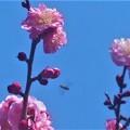 八重の紅梅に花粉集めのミツバチくん