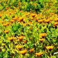 Photos: 春めく野に咲く キンセンカたち