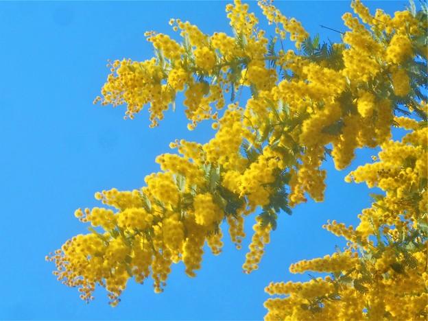 春一番 ポカポカ陽気に ミモザ咲く