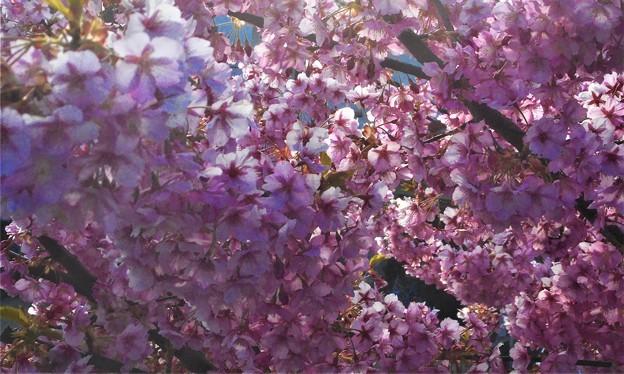寒桜が満開@土手の桜並木