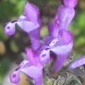 Photos: 早春の野に咲く ホトケノザ(春の七草の一つ)