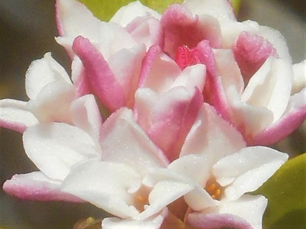 早春に甘く香る 沈丁花(ジンチョウゲ)@漢名 瑞香、別名 輪丁花