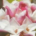 Photos: 早春に甘く香る 沈丁花(ジンチョウゲ)@漢名 瑞香、別名 輪丁花