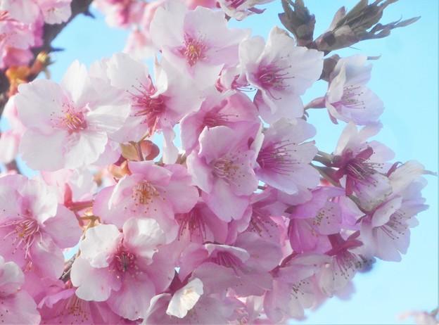 春風が吹いて@満開の寒桜@土手の桜並木