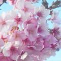 Photos: 春風が吹いて@満開の寒桜@土手の桜並木