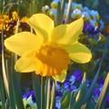 春めく花壇のラッパズイセン@びんご運動公園
