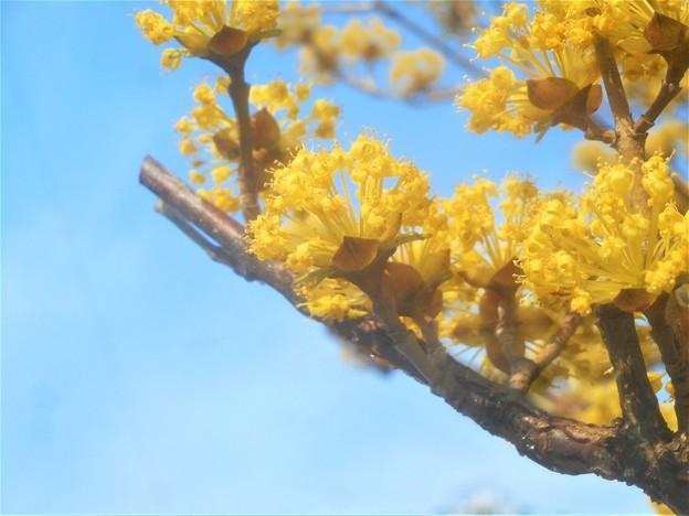 春風に 山茱萸(サンシュユ)が満開@備後路@春黄金花