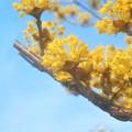 Photos: 春風に 山茱萸(サンシュユ)が満開@備後路@春黄金花