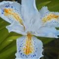 千光寺山の射干(シャガ)の花