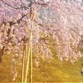 Photos: エドヒガン系 紅枝垂れ桜@福島・三春滝桜の子孫樹@千光寺山