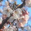 Photos: 一足早く 一本の染井吉野が咲き出した@千光寺山・さつき亭南側