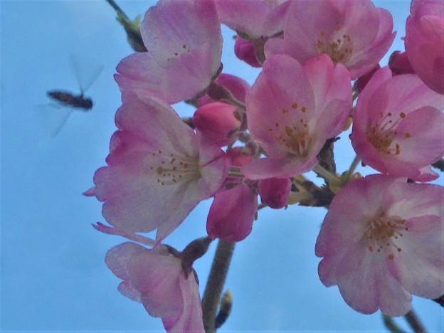 ブ~ンと寒桜にハナバチくん