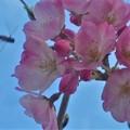 Photos: ブ~ンと寒桜にハナバチくん