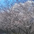 Photos: 令和元年に サクラサク@新高山周辺