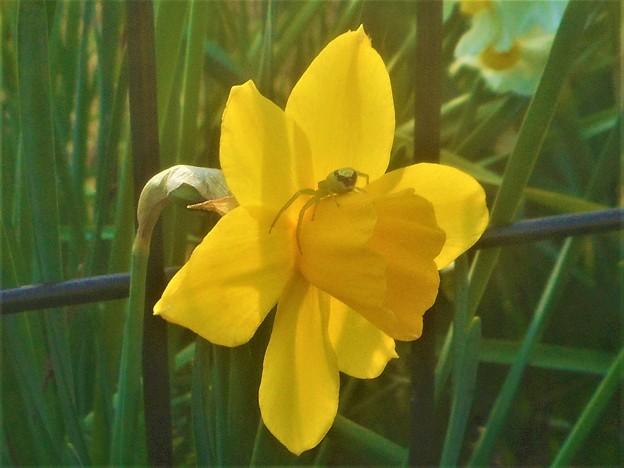 黄水仙とハナグモくん