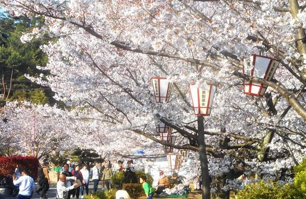 お花見のシーズン@千光寺山