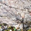 Photos: お花見のシーズン@千光寺山