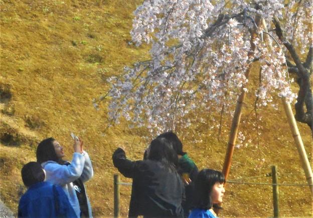 人気の三春滝桜(子孫樹)@千光寺山