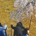 Photos: 人気の三春滝桜(子孫樹)@千光寺山
