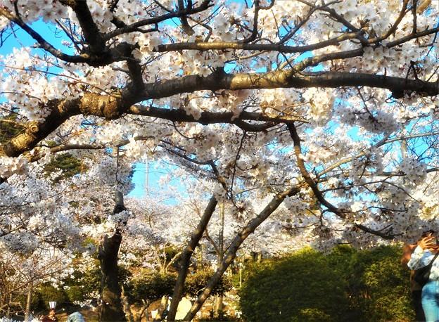 満開の桜@千光寺山