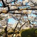 Photos: 満開の桜@千光寺山