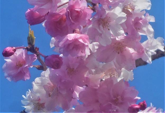 芝生公園の紅枝垂桜(ベニシダレザクラ)
