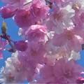 Photos: 芝生公園の紅枝垂桜(ベニシダレザクラ)