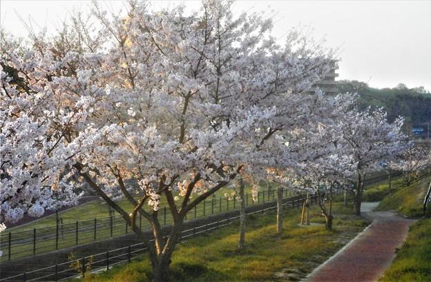 水路の桜並木2019