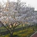 Photos: 水路の桜並木2019