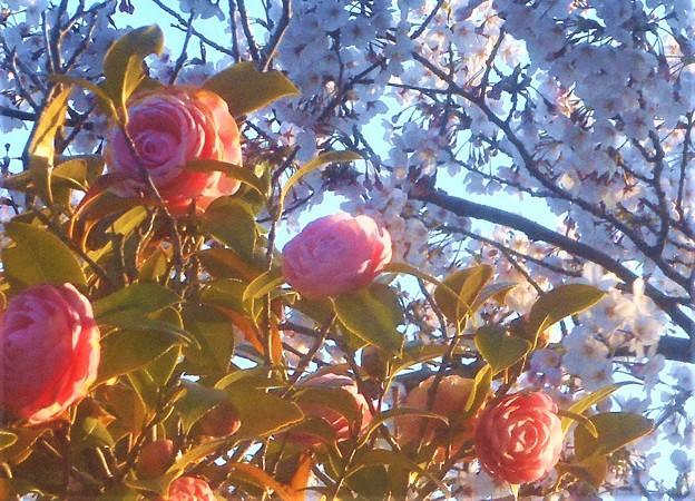 桜花と乙女椿@千光寺山