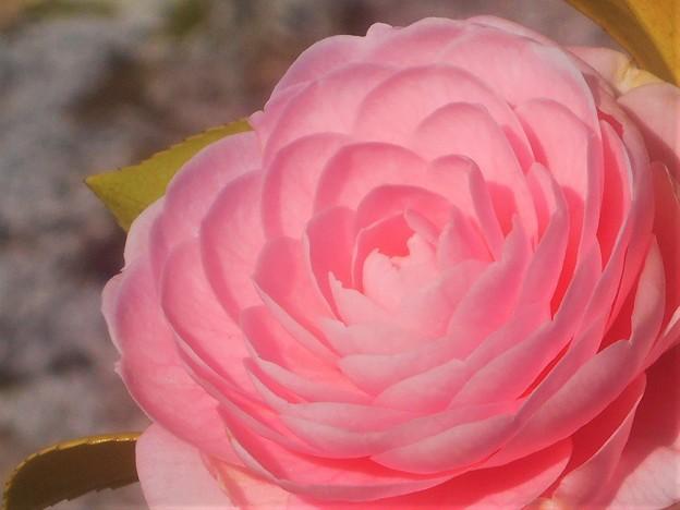 満開の桜と乙女椿@千光寺山
