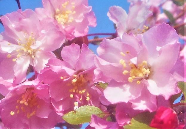 青空に咲く 花海棠(ハナカイドウ)@芝生公園