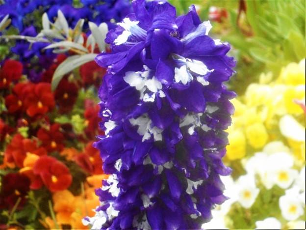 ブルーでノッポな花房@高原のゆいちゃんのおにわ