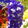 Photos: ブルーでノッポな花房@高原のゆいちゃんのおにわ