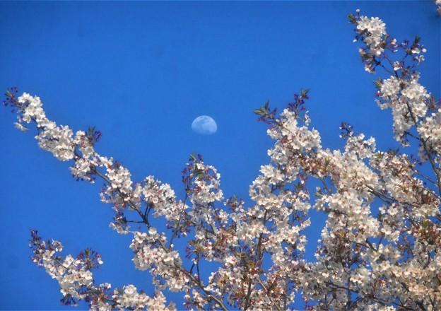 月と最後の桜@千光寺山