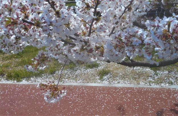桜吹雪の散歩道@黒崎水路