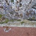 Photos: 桜吹雪の散歩道@黒崎水路
