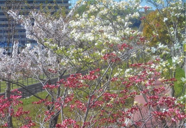 Photos: 桜並木に紅白のハナミズキ@黒崎水路