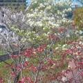桜並木に紅白のハナミズキ@黒崎水路