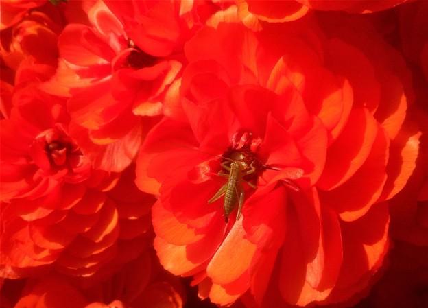 燃えるようなラナンキュラスの赤い花@千光寺山