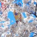 Photos: チラチラッとチラ見@金太郎と金のカープと平成最後の花見