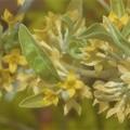 Photos: ロシアンオリーブの花@グミのような実を付ける
