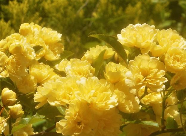 モッコウバラの季節