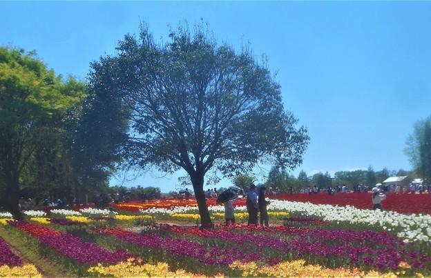 GWのチューリップ畑@世羅高原農場