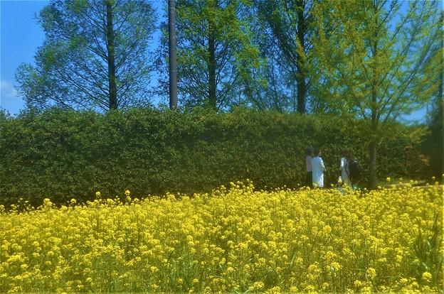 5月の菜の花畑とメタセコイアの並木道@世羅高原農場