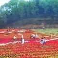 Photos: 世羅高原の花絵@チューリップ祭2019