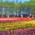 Photos: 初夏のチューリップ畑@世羅高原