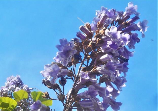 初夏の空に 桐の花@新高山
