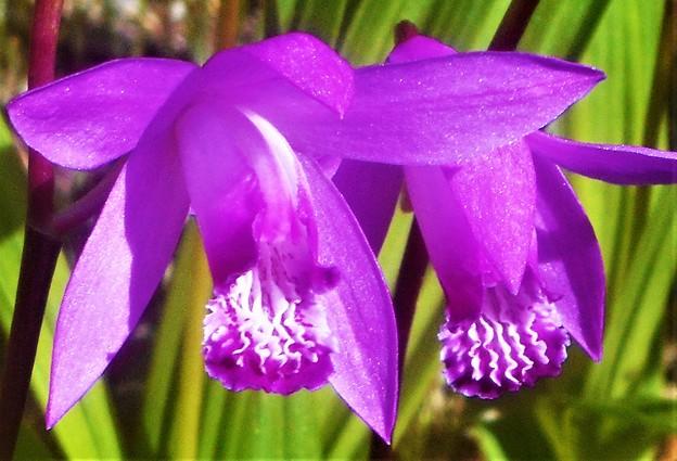 初夏に咲く 紫蘭(シラン)@新高山